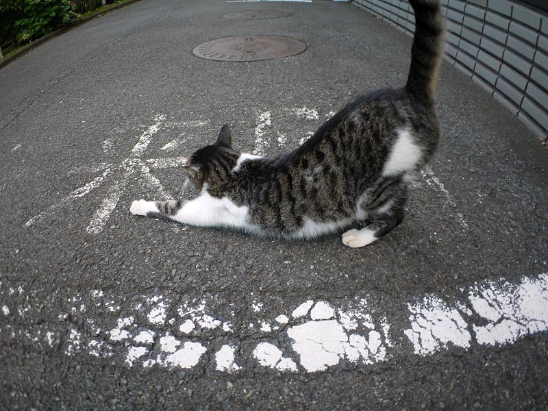 前伸びしてるキジ白猫1