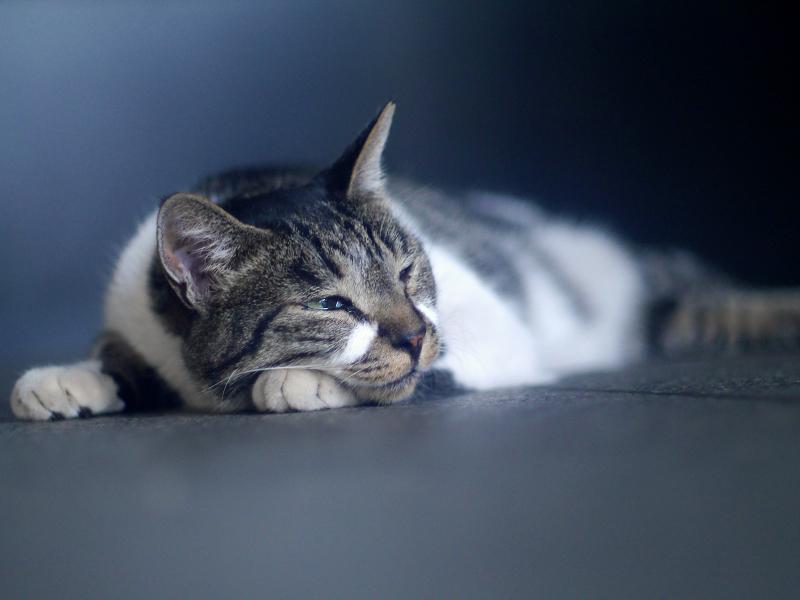 寝ているキジ白猫1