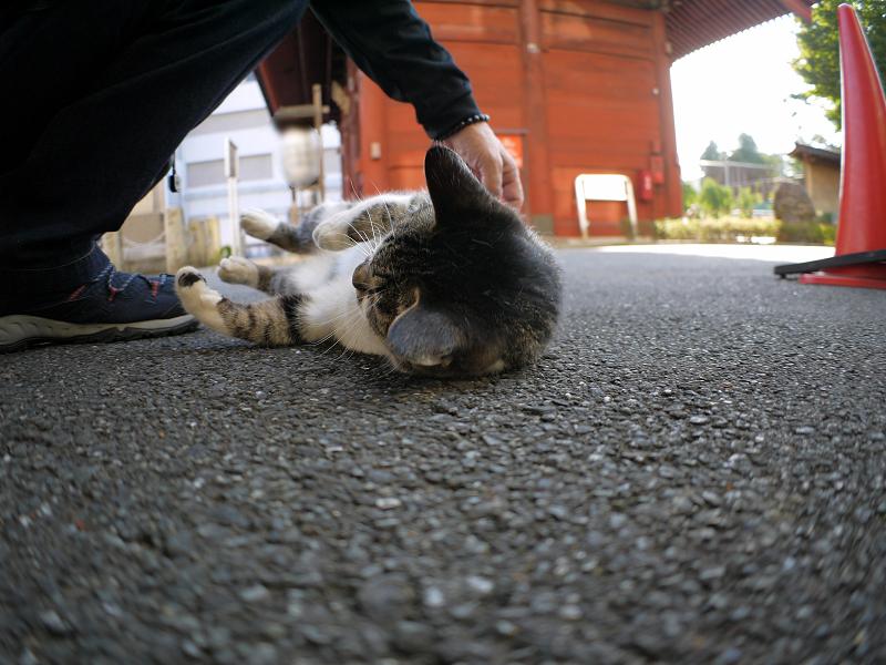 門前のキジ白猫2
