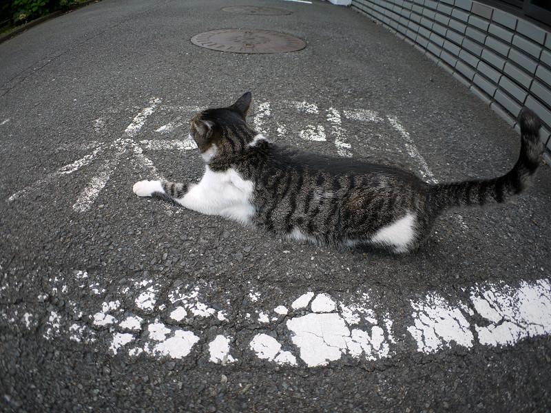 前伸びしてるキジ白猫3