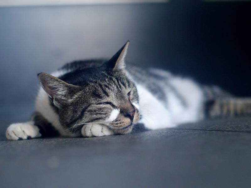 寝ているキジ白猫3