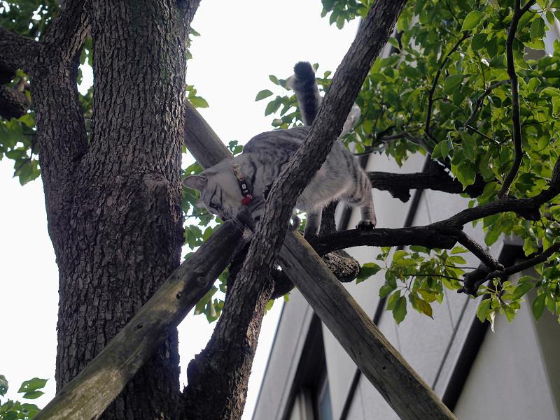 木の上で動いてるサバトラ猫1