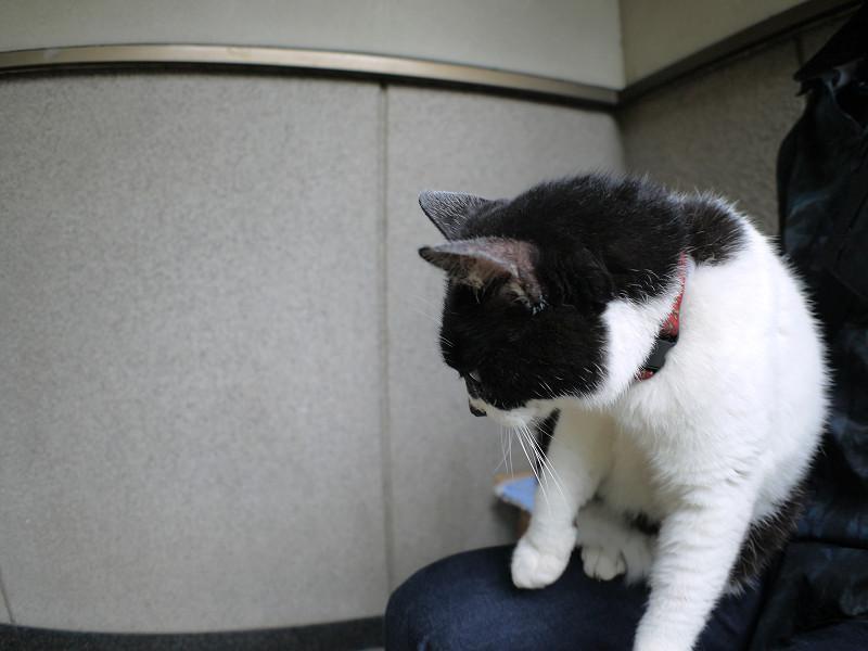 膝に乗った白黒猫1