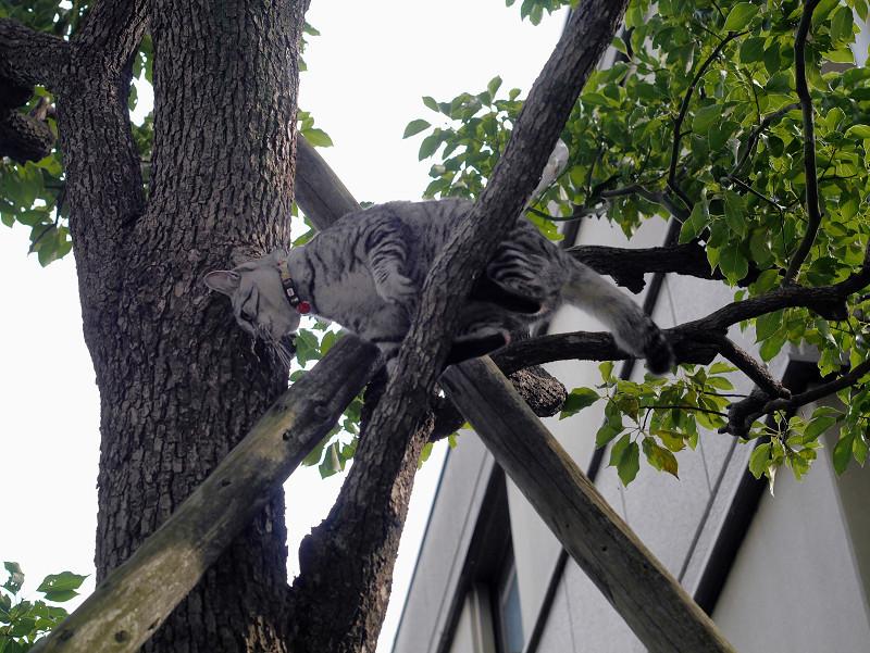 木の上で動いてるサバトラ猫2
