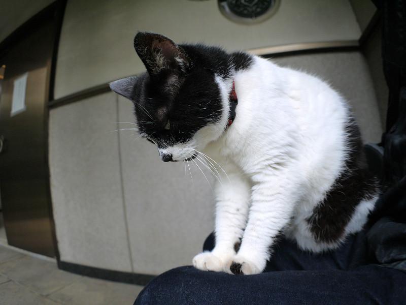 膝に乗った白黒猫2