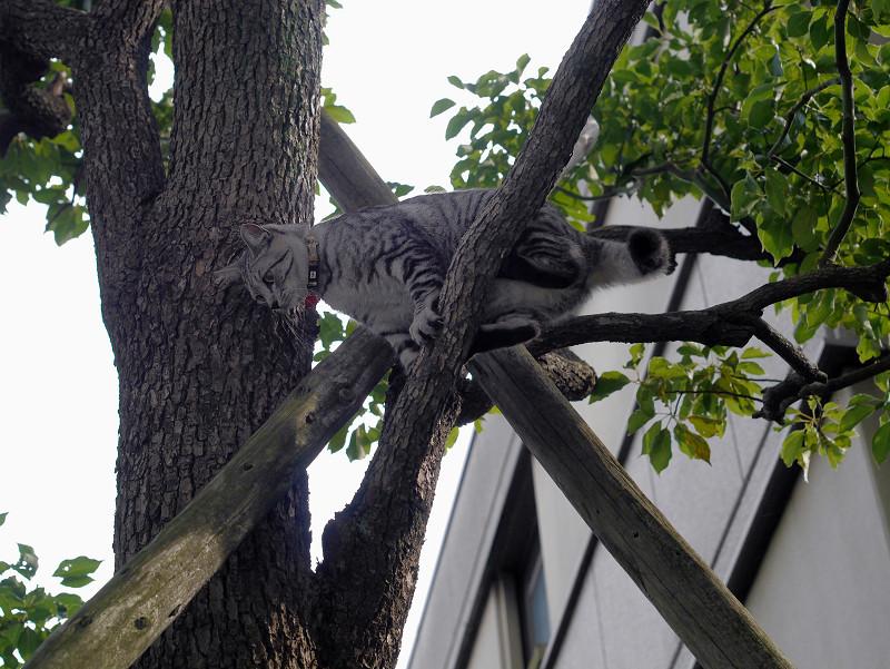 木の上で動いてるサバトラ猫3