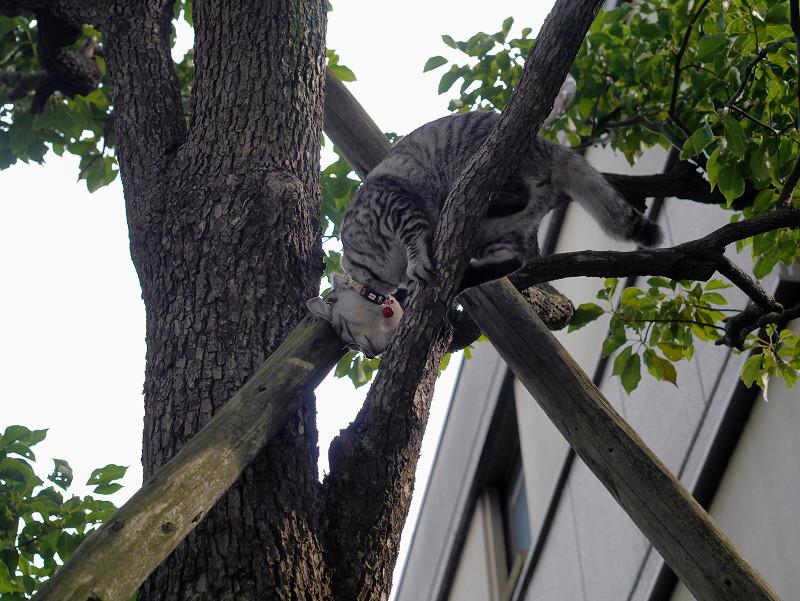 木の上で動いてるサバトラ猫4