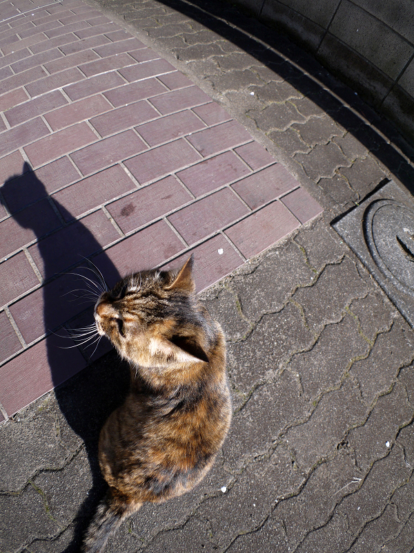 サビ柄猫の背中と影2