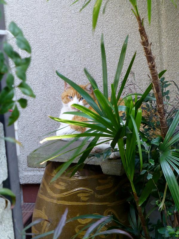 友だちになった茶白猫1