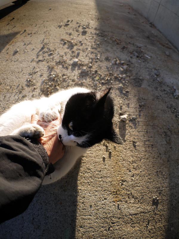 人の手を噛む白黒猫1