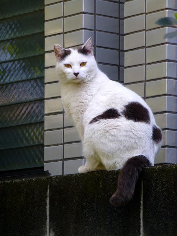 駐車場のぶち柄猫3
