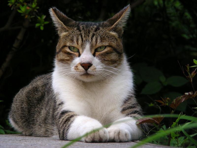 耳が動いてるキジ白猫1