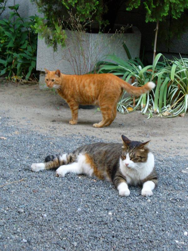 玉砂利の猫1