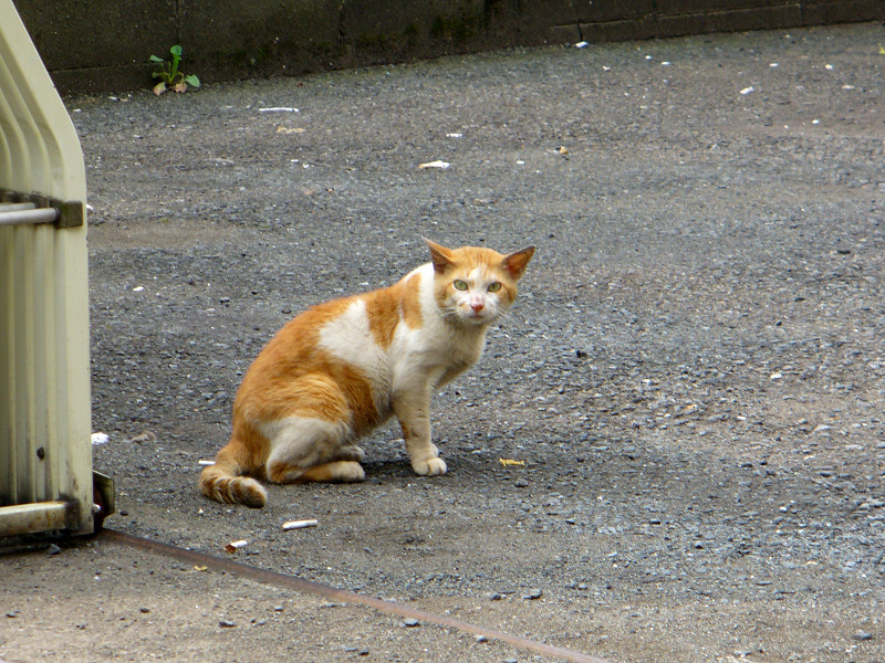 空き地で固まってる茶白猫1