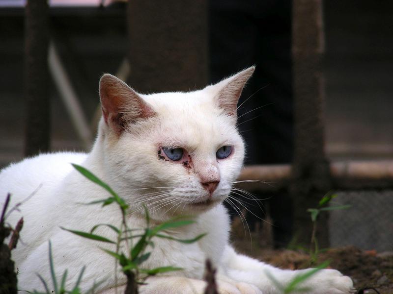見てる白猫