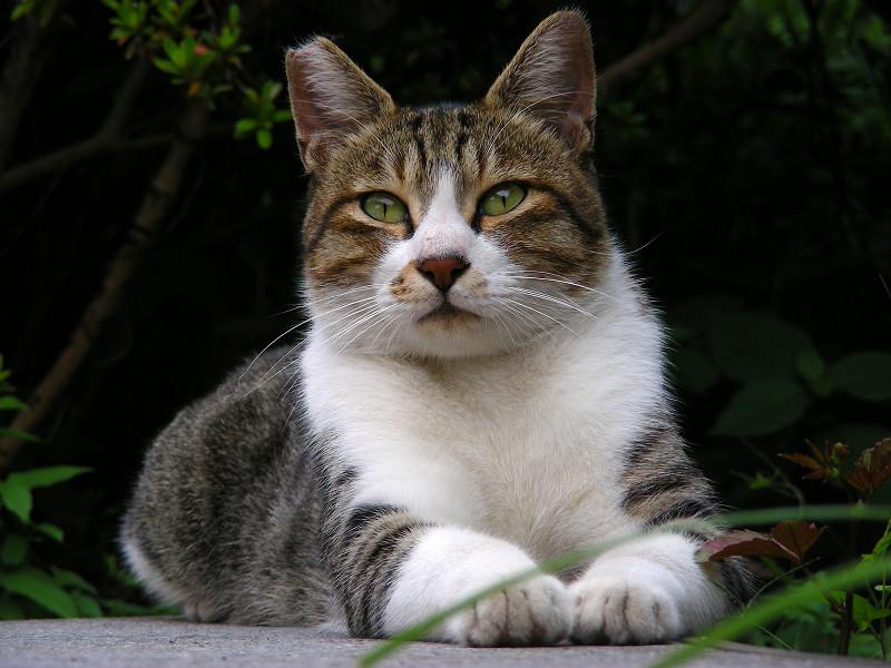耳が動いてるキジ白猫2