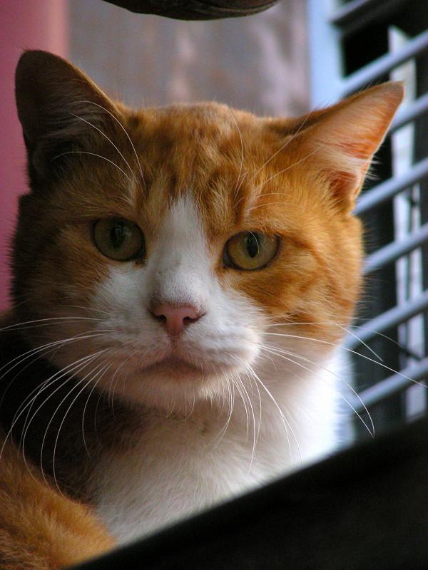 茶白猫のアップ2