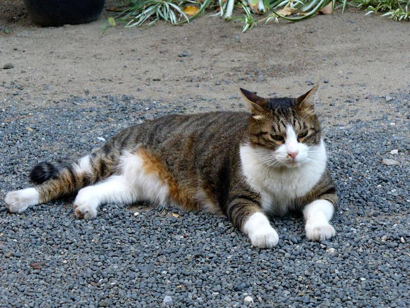 玉砂利の猫2