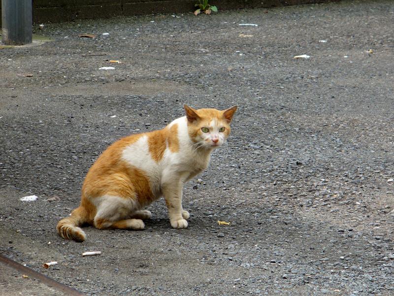 空き地で固まってる茶白猫2