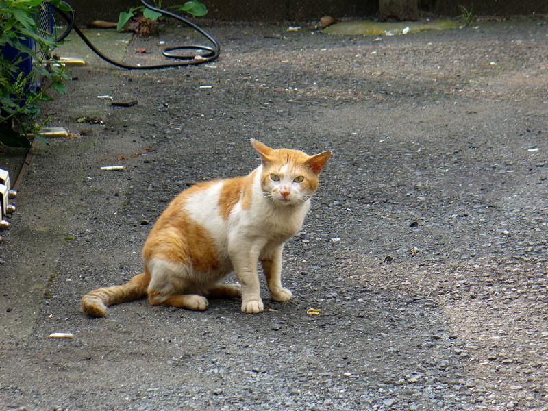 空き地で固まってる茶白猫3
