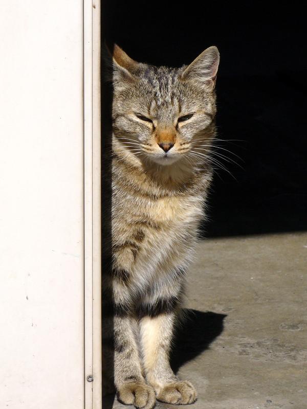 微睡むキジトラ猫3