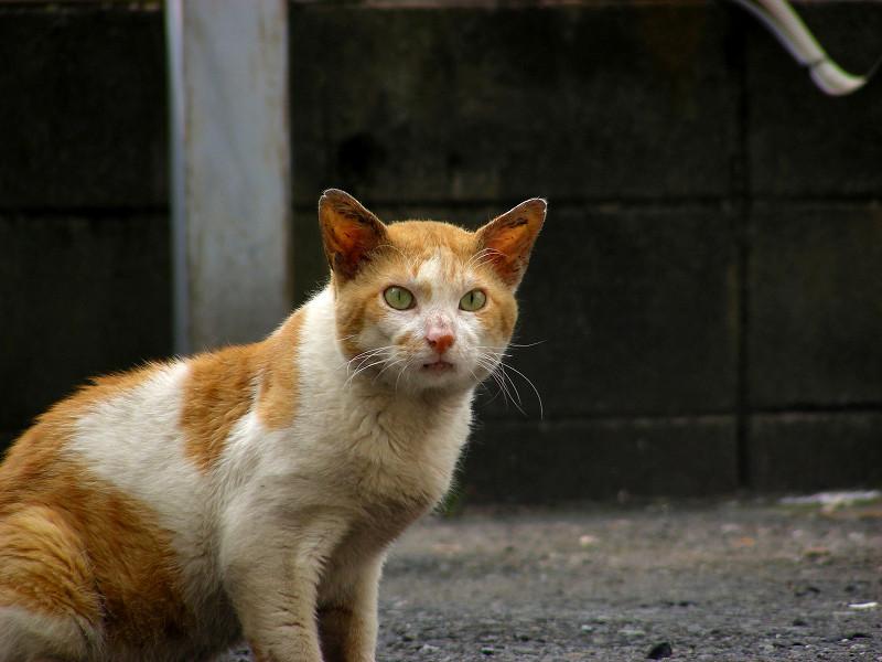 空き地で固まってる茶白猫4