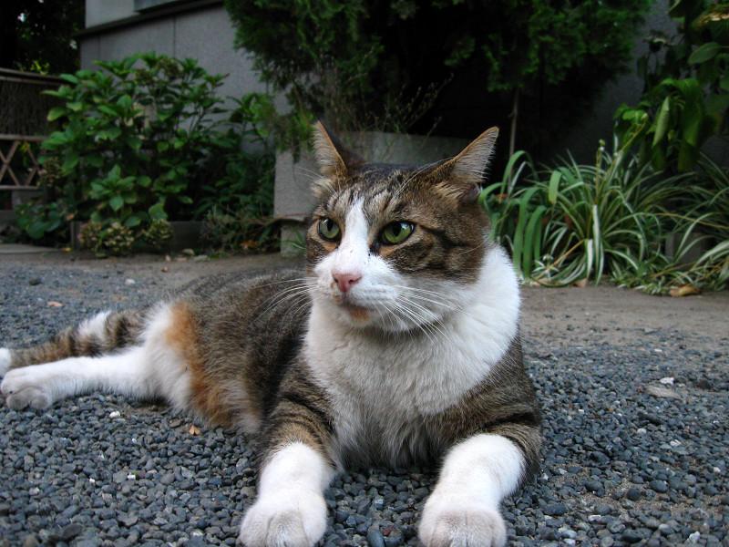 玉砂利の猫3