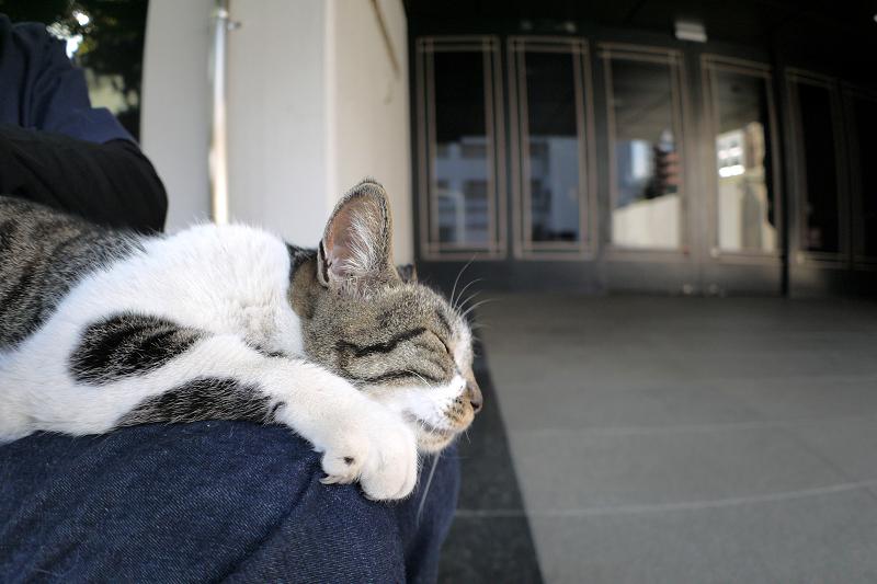 膝で鳴いてるキジ白猫1
