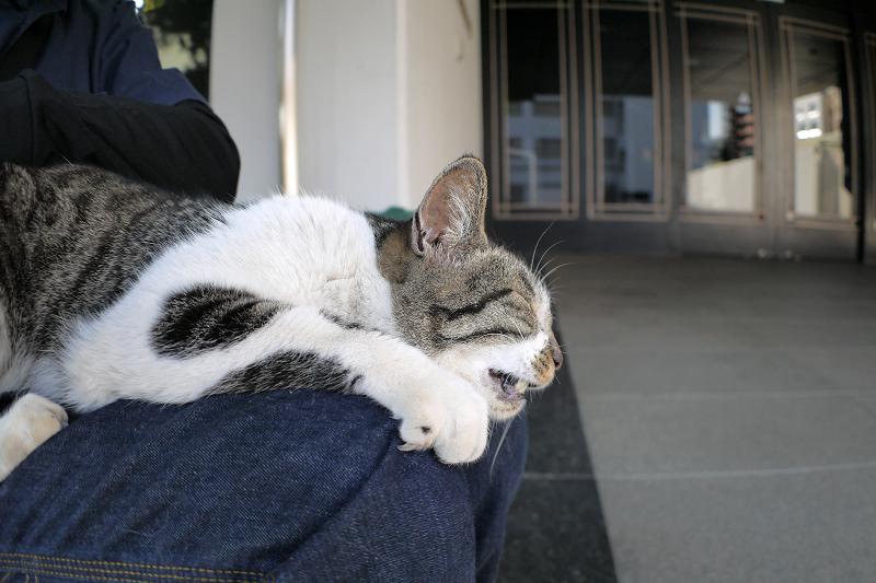 膝で鳴いてるキジ白猫2