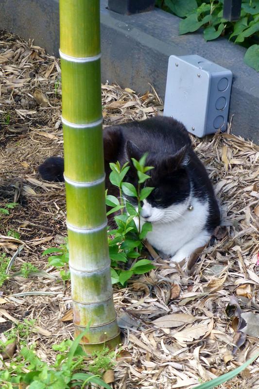 竹やぶと黒白猫1