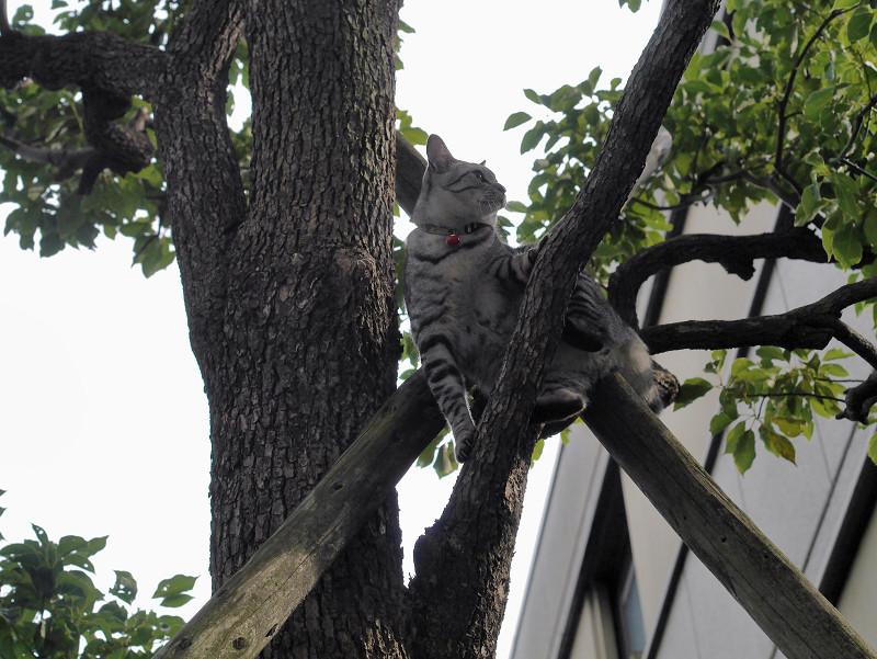 木の上で右往左往するサバトラ猫1