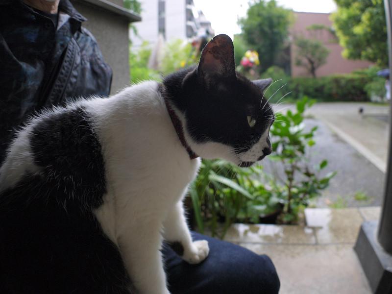 雨の日に膝に乗った白黒猫1