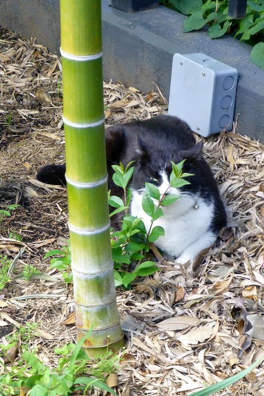 竹やぶと黒白猫2