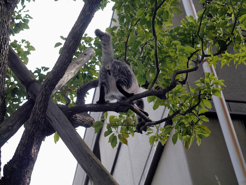 木の上で右往左往するサバトラ猫2