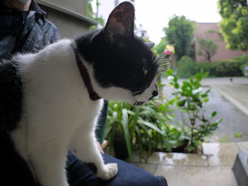 雨の日に膝に乗った白黒猫2