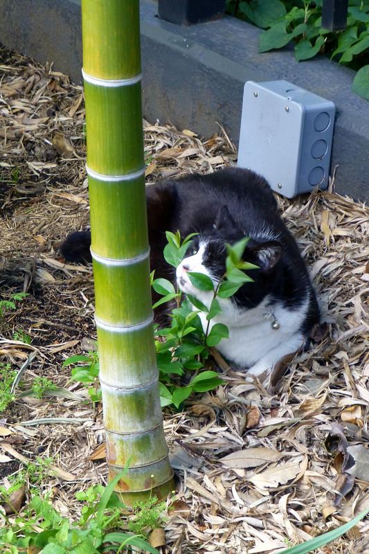 竹やぶと黒白猫3