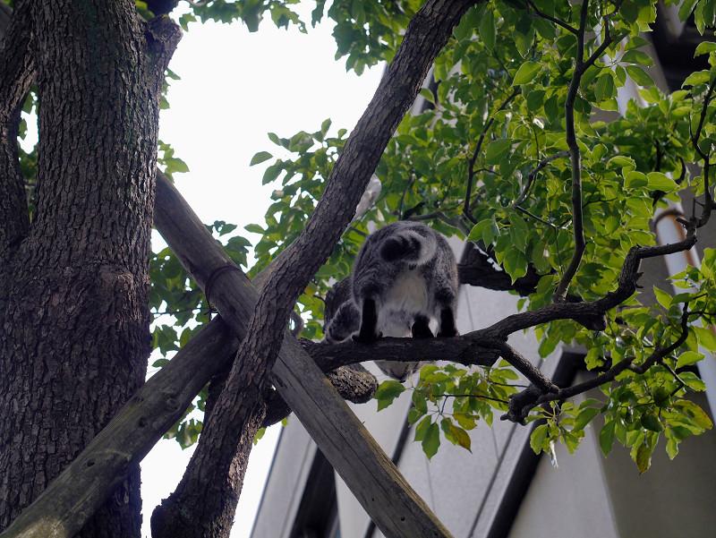 木の上で右往左往するサバトラ猫3