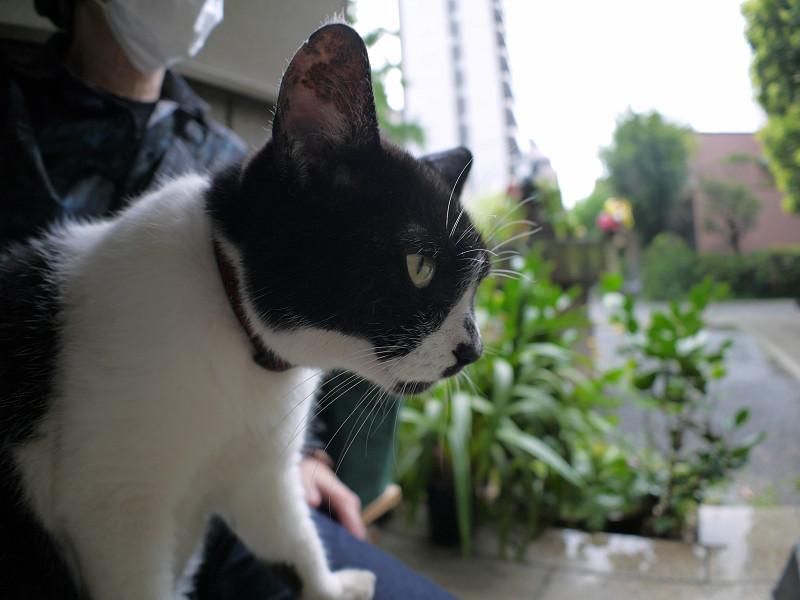 雨の日に膝に乗った白黒猫3