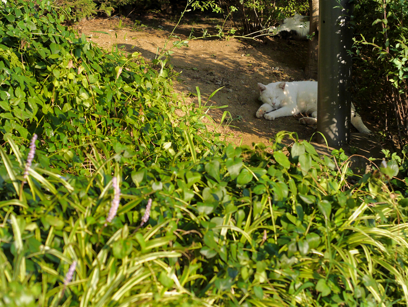 公園茂みの白猫1