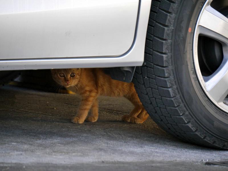 車の下の茶トラ猫1