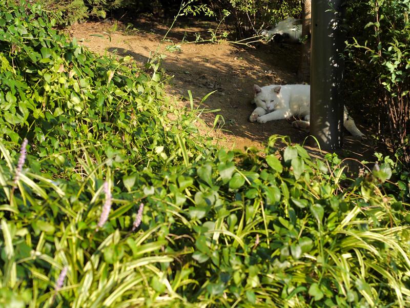 公園茂みの白猫2