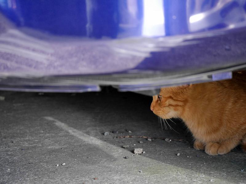 車の下の茶トラ猫2