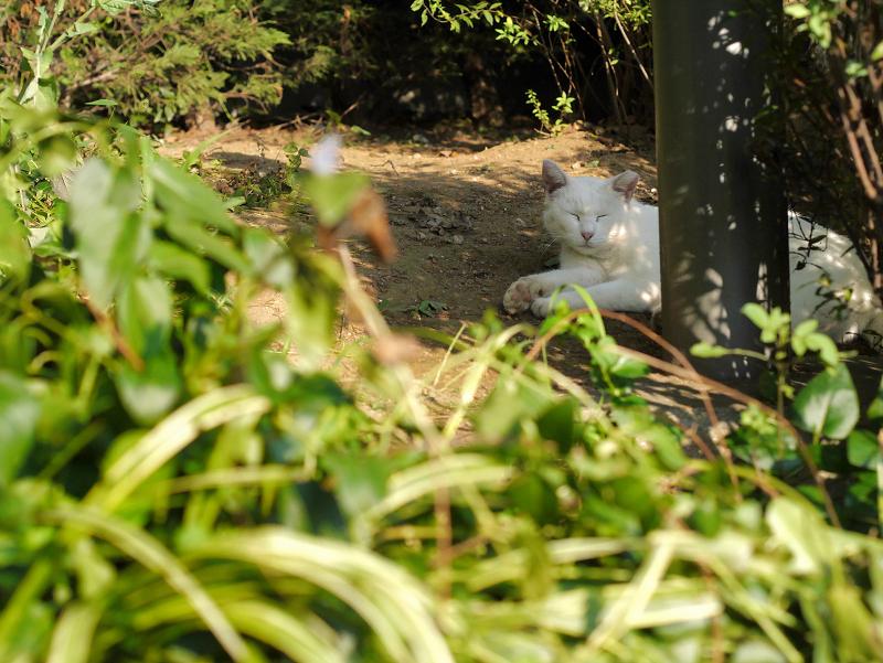 公園茂みの白猫3
