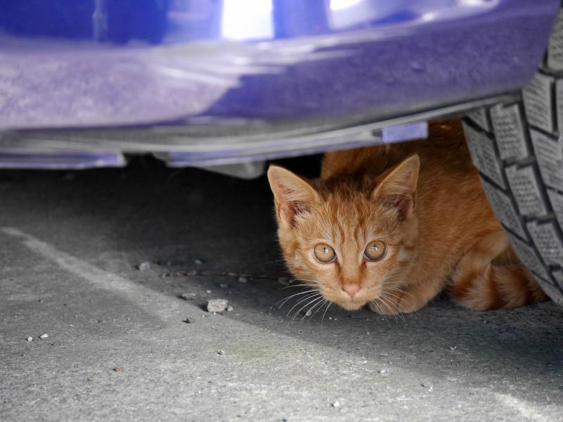 車の下の茶トラ猫3