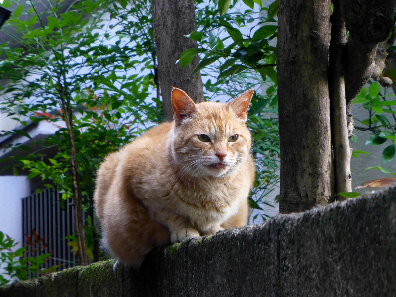 ブロック塀で動かない茶トラ猫1