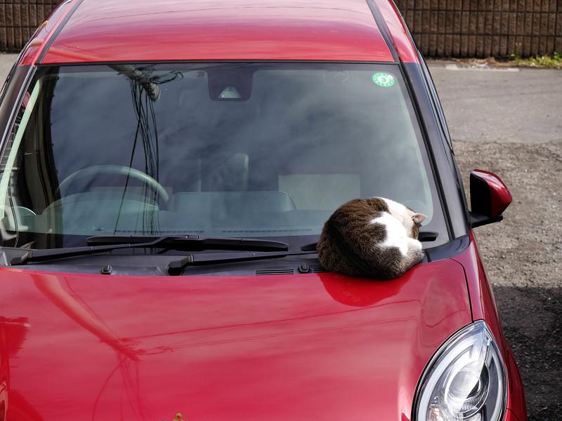 ボンネットで寝ているキジ白猫1