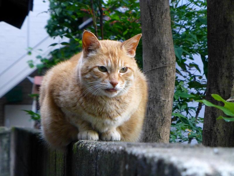 ブロック塀で動かない茶トラ猫2