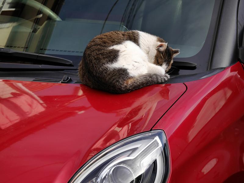 ボンネットで寝ているキジ白猫3