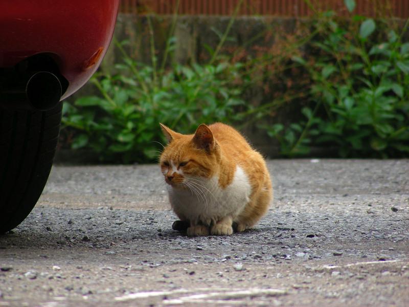 丸い茶白猫1