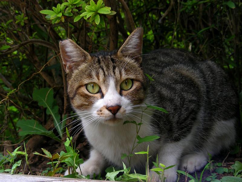 緑の瞳と赤い鼻のキジ白猫1